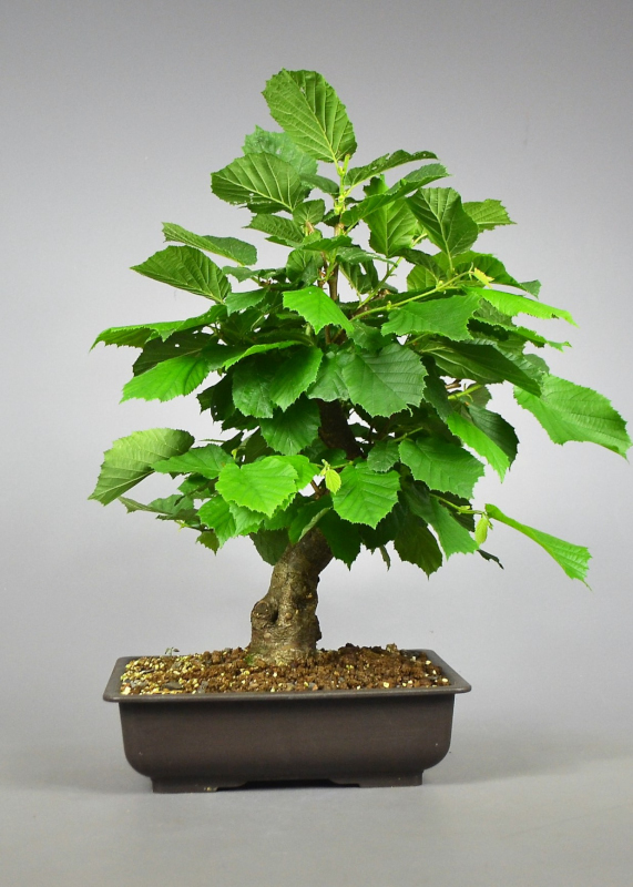 Bonsai Hasel