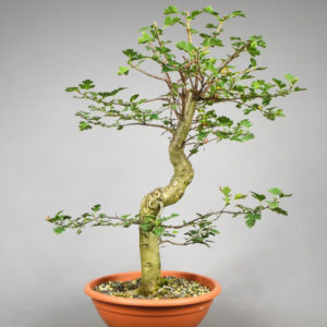 Bonsai Weisdorn
