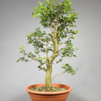 Bonsai Weisdorn - Crataegus