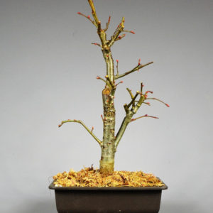 bonsai linde