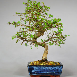 Bonsai Zelkove