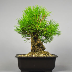 Bonsai Schwarzkiefer