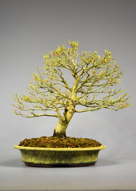 Bonsai Fächerahorn