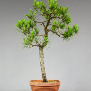 Bonsai Kiefer