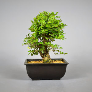 bonsai ulme