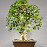 bonsai carpinus