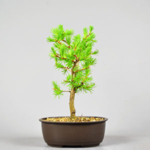 Bonsai Lärche